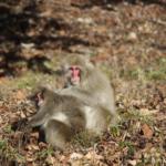 猿による被害が増加している原因とは!?