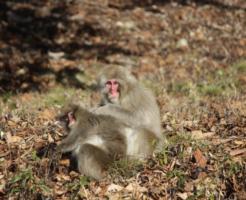 猿 増加 原因