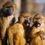 猿の鳴き声の特徴や鳴く意味とは!?