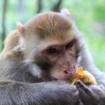 ダイエットで猿の寿命が伸びるって本当!?
