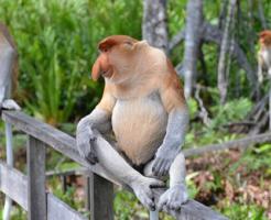 鼻 大きい 猿