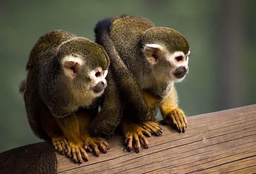 猿 小さい 種類 価格