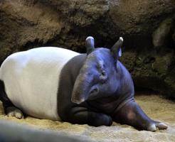 バク 日本 動物園