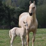 馬の繁殖方法と年齢とは!?