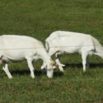 ヤギを飼育するメリットとは!?