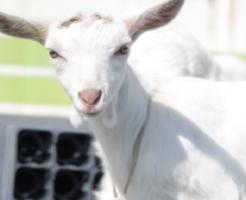 ヤギ 飼育 許可