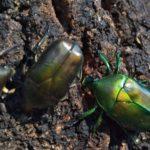 カナブンとカメムシとゴキブリの違いについて