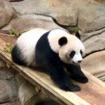 ジャイアントパンダの赤ちゃんの大きさはどれくらい!?