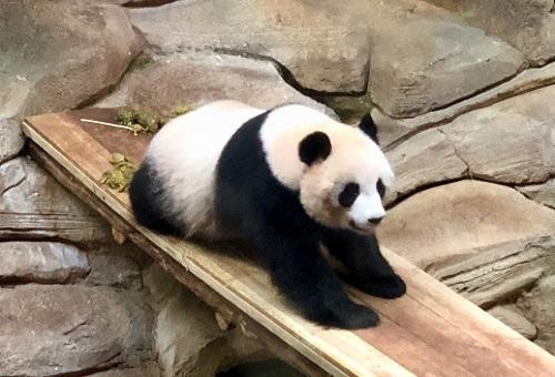 ジャイアントパンダ 赤ちゃん 大きさ
