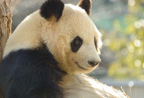 ジャイアントパンダ 身長 体重