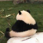 ジャイアントパンダの尻尾の色は白黒どっちなの!?