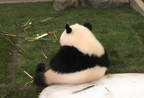 ジャイアントパンダ 尻尾 色