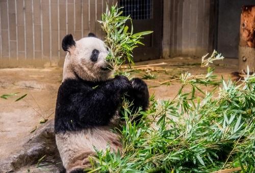 ジャイアントパンダ 減少 原因