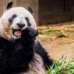日本でジャイアントパンダに会える動物園はどこ!?