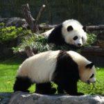 日本にいるジャイアントパンダの頭数はどれくらい?