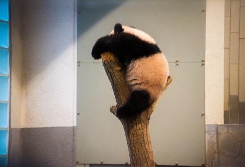 ジャイアントパンダ 動物園 世界