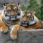 色んな色がいる!?虎の毛の色の種類とは?