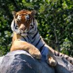 虎の年齢を人間に換算すると何歳なの!?