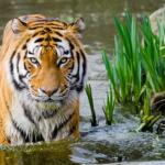 風水での虎が表す意味や効果とは!?