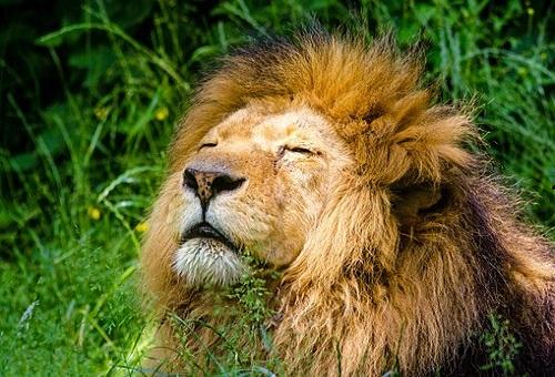 ライオン 群れ 乗っ取り