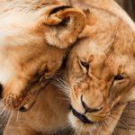 ライオンはなぜ群れを作って生活するの!?