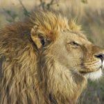 ライオンの筋肉の量や構造について