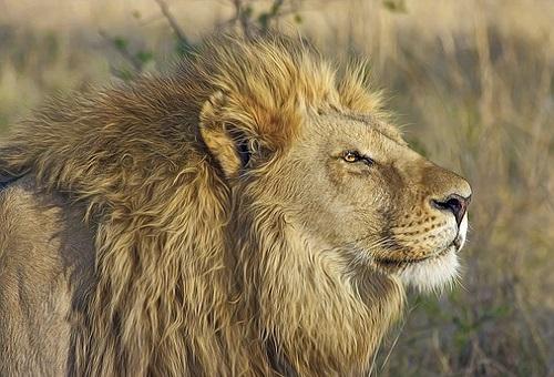 ライオン 筋肉 量 構造
