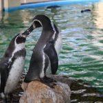 ペンギン「オオウミガラス」の絶滅の原因とは!?