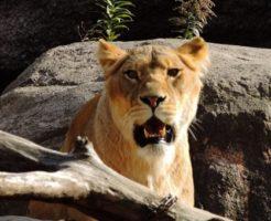 ライオン 赤ちゃん 特徴