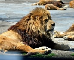 ライオン たてがみ 色