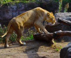 ライオン 赤ちゃん 生態