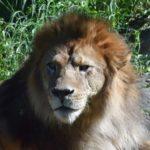 ライオンの赤ちゃんの手や肉球の特徴について