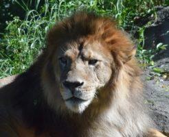 ライオン 赤ちゃん 手 肉球