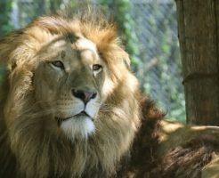ライオン たてがみ 役割