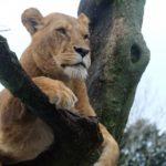 ライオンの赤ちゃんって人間になつくの!?
