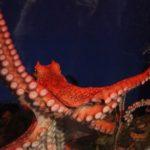 日本でおすすめのタコが見れる水族館をご紹介!