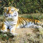 なぜ日本には野生のトラはいないの!?