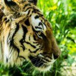ネコ科最大の動物トラの生態とは!?