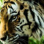 虎と寅の違いとは何!?