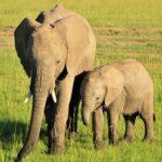象が耳をパタパタさせている理由は何!?