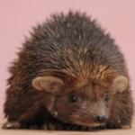 ハリネズミのピンクマウスのあげ方!頻度はどれくらい?