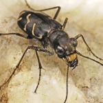 ハンミョウの繁殖の時期や繁殖方法について