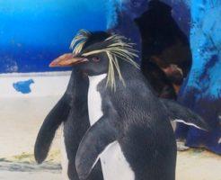 イワトビペンギン 日本 水族館