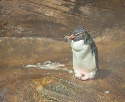 イワトビペンギン 生息地
