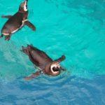 ペンギンは水中で呼吸しているの?どれくらいの時間潜れる!?