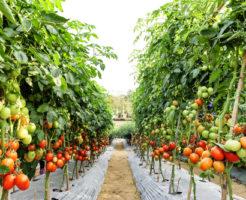 ヨトウムシ 対策 トマト