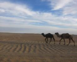 ラクダ 砂漠 理由