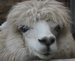 アルパカ 野生 毛