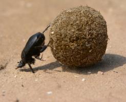 フンコロガシ 飼育 餌
