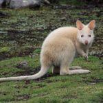 白いカンガルー!アルビノ種のカンガルーの特徴は?